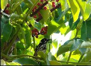 New Holland Honeyeater at Hallett Cove - 2008
